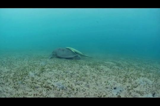 Vue sous-marine de tortue verte sur herbier