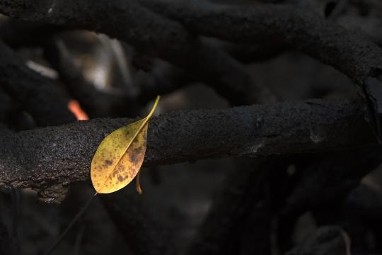 Autour des racines de palétuviers en mangrove de Chirongui