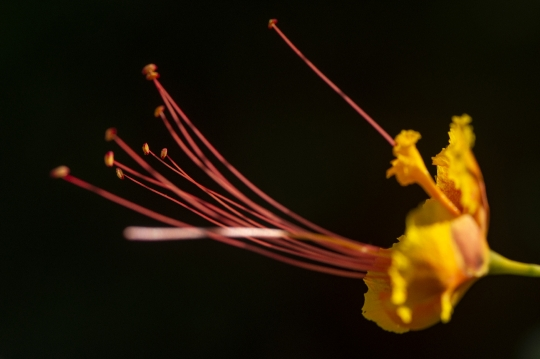 Botanique et fleur de petit flambloyant