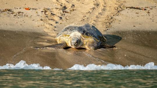 GLB0496 Tortue verte regagnant la mer
