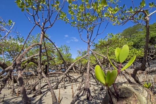 Mangrove de Mzouazia