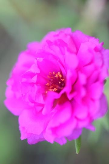 RAIFleur rose