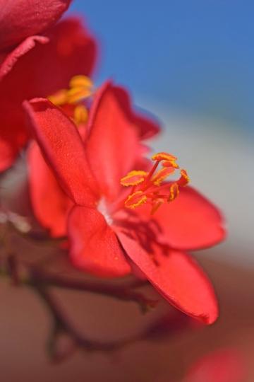 RAIFleur rouge