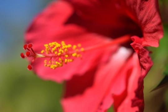RAIHIbiscus rosa-sinensis